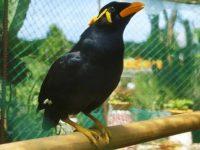 Burung Beo Jawa