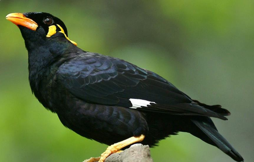 Gambar Burung BEO Nias
